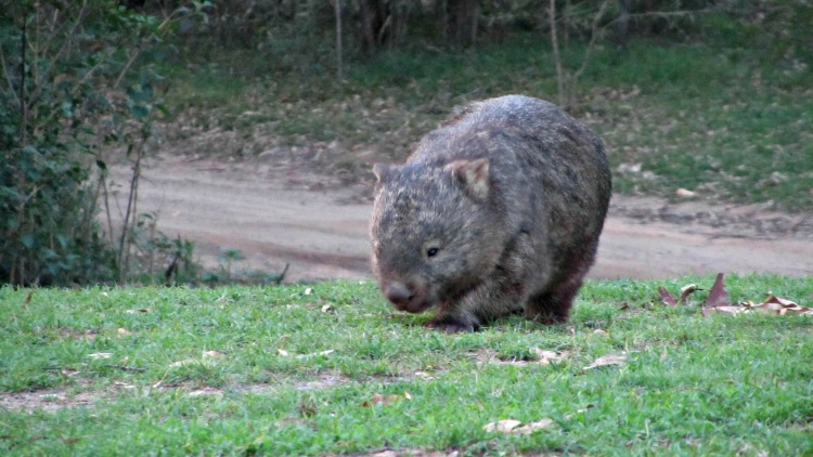 Wombat Parade of Life
